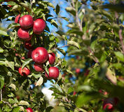 Red apples on the trees Royalty Free Stock Photography