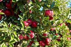 Red apples on the trees Stock Images