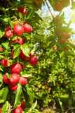 Red apples on the trees Royalty Free Stock Image