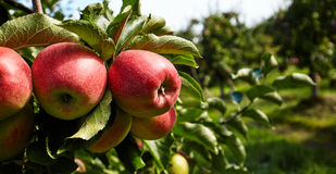 Red apples on the trees Stock Photos