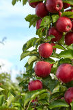 Red apples on the trees Stock Photo