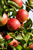 Red apples on the trees Royalty Free Stock Photo