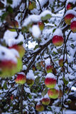 Red apples on trees with snow Royalty Free Stock Photography