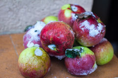 Red apples on trees with snow Stock Images