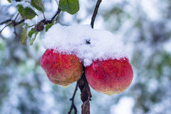Red apples on trees with snow Royalty Free Stock Photos