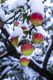 Red apples on trees with snow Royalty Free Stock Photo
