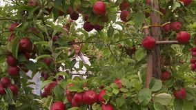 Red apples and two female. A steady shot of red apples and green leaves of its tree. Two female walks past the apples stock video