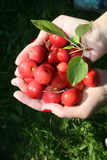 Red apples in two hands. Royalty Free Stock Images