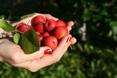 Red apples in two hands. Royalty Free Stock Image