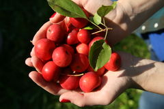 Red apples in two hands. Royalty Free Stock Photos