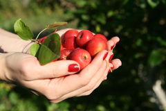 Red apples in two hands. Royalty Free Stock Photography