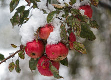 Red apples under the snow. In the garden Royalty Free Stock Photo