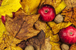 Red apples and walnuts. Hidden in autumn leaves Royalty Free Stock Image