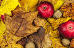 Red apples and walnuts. Hidden in autumn leaves Stock Photo