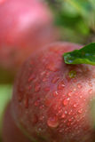 Red apples with water drops on apple tree Royalty Free Stock Photo