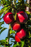 Red apples. Red wet apples on a tree stock image