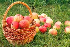 Red apples in a wicker basket and on green grass in the orchard. Red ripe apples in a wicker basket and on green grass in the orchard. Fresh ripe apples in the stock images