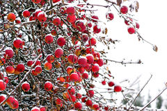 Red apples in winter Stock Photo