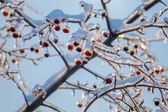 Red Apples at Winter after Icy Rain Stock Images
