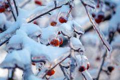 Red Apples at Winter after Icy Rain Royalty Free Stock Photography