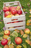 Red apples in a wooden box Stock Photo