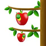 Red apples with worms hang on the branches of tree Royalty Free Stock Photography