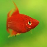 RED Aquarium fish Stock Photography