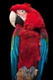Red ara. On black background Stock Photos