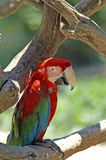 Red ara. The Ara macaws are large striking parrots with long tails. The Ara macaws are large striking parrots with long tails, long narrow wings and vividly stock image