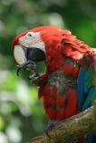 Red ara bird Royalty Free Stock Photography