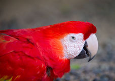 Red ara macaw parrot outdoor. Beautiful cute funny bird of red feathered ara macaw parrot outdoor on green natural background Royalty Free Stock Photos