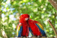 Red ara or macaw parrots on green natural background Royalty Free Stock Images