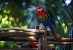 Red ara parrot sitting on the branch and looking at camera with leaves and plants on background.  Stock Images