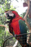Red Ara Parrot Royalty Free Stock Images