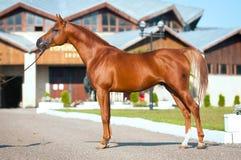 Red arabian horse exterior. Exterior of chestnut arabian horse stallion in summer Royalty Free Stock Image