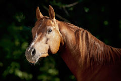 Red arabian horse portrait in dark Royalty Free Stock Photos