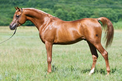 Red arabian stallion portrait in summer. Red arabian horse stallion portrait in summer royalty free stock images