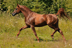 Red arabian stallion trots. On the meadow Stock Image