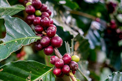 Red arabica coffee bean. On branch Stock Image