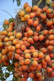 Red Areca catechu fruit. In nature garden stock photo