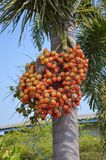 Red Areca catechu fruit. In nature garden royalty free stock images