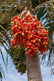 Red Areca Nut Palm Royalty Free Stock Photography