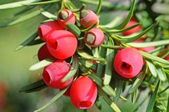 Red arils, fruits of a yew. Ripe and half-ripe cones of a yew, surrounded by red arils with green needles royalty free stock photo