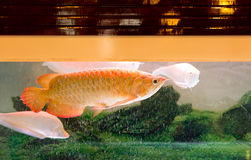 Red Arowana or Dragon fish. In fish tank stock photography