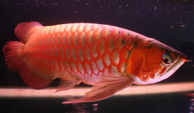Red Arrowana Fish. Reddish silver tropical Arrowana fish Stock Photography