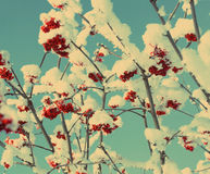 Red ash-berry under snow - vintage retro style Royalty Free Stock Photo
