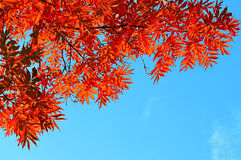 Red ash tree branches on the background of blue sky Royalty Free Stock Image
