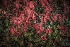 Red Ash Tree. Close-up of a red ash tree in autumn royalty free stock photography