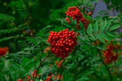Red ashberry on a background of green leaves. In an autumn park Royalty Free Stock Image