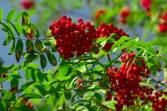 Red ashberry on a background of green leaves. In an autumn park Stock Photography